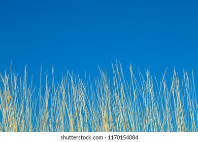 Looking up at tall dried grasses against a clear blue sky