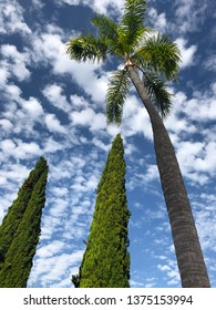 Looking up at tall palm and Cypress tress against a cloudy sky
