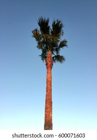 Looking up at a tall palm tree against a clear blue sky