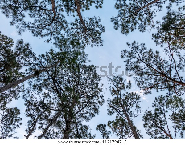 Looking Up to Tall Pine Trees with Clear Skies