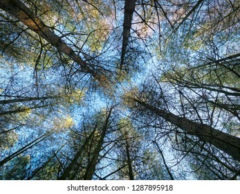 Looking up tall thin converging trunks of fir trees to a crown of foliage and the winter sky
