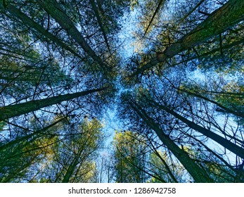 Looking up tall thin fir tree trunks to the pale blue winter sky.
