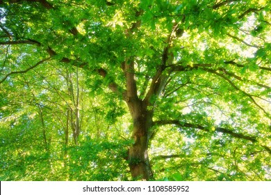 Looking up to the tall tree with sun light shines through branches and leaves. Blooming effect makes warm feeling for text background.