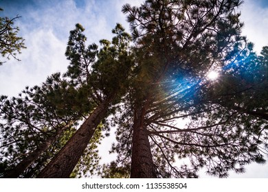 Looking up at tall western pine trees growing near Lake Tahoe in Northern California Sierra Nevada Mountains thick forest nature landscape with sun flare