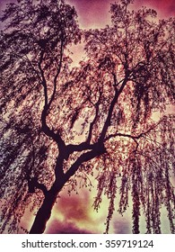 Looking up through branches of a tree to a pink sunset sky