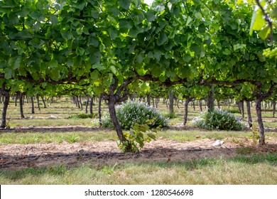 Looking through the canopy of grapes growing on trellis frames in Canterbury, New Zealand