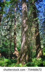 Looking up  through the canopy of old growth conifer forest in the Grove of the patriarchs, Ohanapecosh, Mount Rainier National Park, Washington