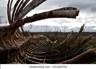 looking through the decomposed rib cage of a wild welsh horse