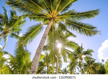 Looking up through golden sunshine into a palm tree plantation against a blue sky with bokeh. Tropical photo taken on Upolu Island, Western Samoa, South Pacific