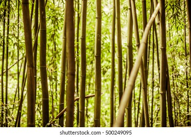 Looking through Hawaiian Bamboo at Manoa Falls, Oahu