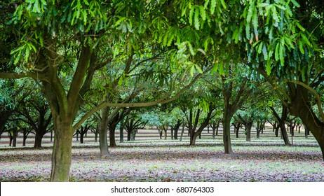 Looking through the macadamia trees at farm in Glasshouse Mountains.