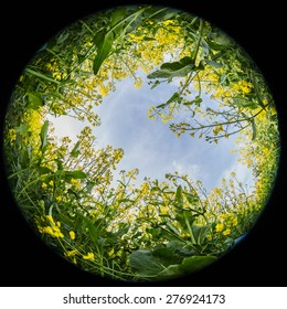 Looking up through Rapeseed and mustard plantation fields