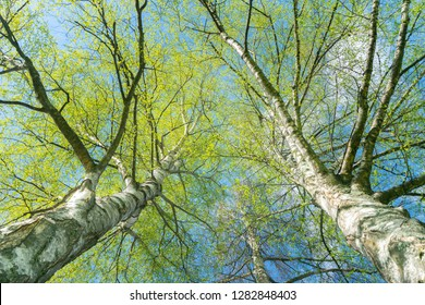 Looking up through silver birch trees with spring growth contrasting with white tree trunks.