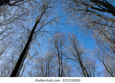 Looking up through winter snow covered trees to a blue sky