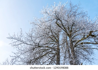 Looking up to the top of cottonwood trees lightly dusted with snow in winter with a blue sky.