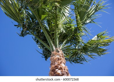 Looking up at the top of Palm tree against a clear blue sky