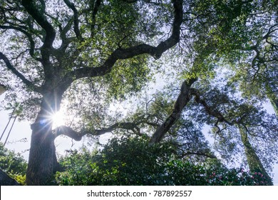 Looking up towards the sky from under a large old coastal live oak tree, Cambria, California