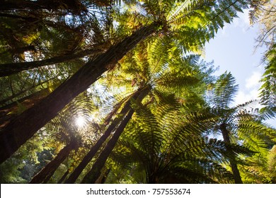 looking up at tree ferns, New Zealand