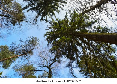 Looking up to tree top. Pine trees in a forest in Germany.