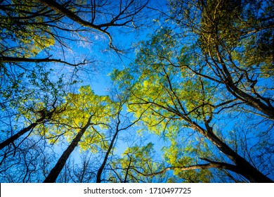 Looking up at trees on a clear day in North Carolina with a blue sky in the background