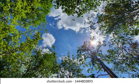 looking up trees with sky clouds.