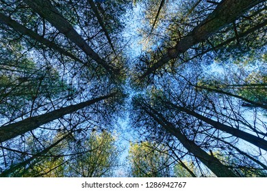 Looking up the trunks of a group of tall thin fir trees to the pale blue winter sky.