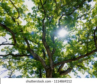 Looking up at the twisted branches of a large oak tree with a sun burst