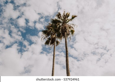 Looking up at two palm trees with a blue sky and big white clouds.