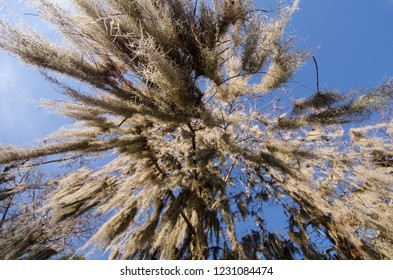 Looking up from under dangling spanish moss. Blue sky