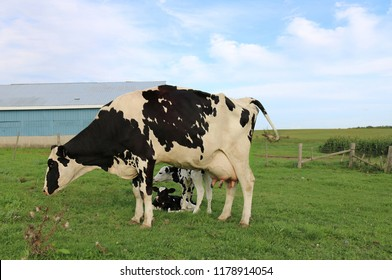 Looking under Holstein Cow at her twin calves