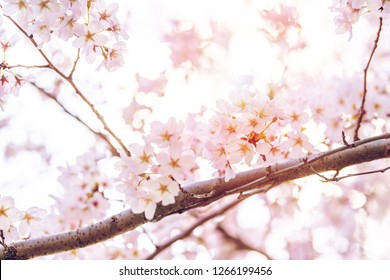 Looking up, closeup view on one vibrant pink cherry blossom with flower petas on sakura tree branch against sky in spring in Washington DC
