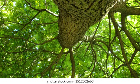 Looking up, following the rough old bark of a tree trunk, branches extend into the bright summer sky into a fractal explosion of lush awe inspiring green canopy