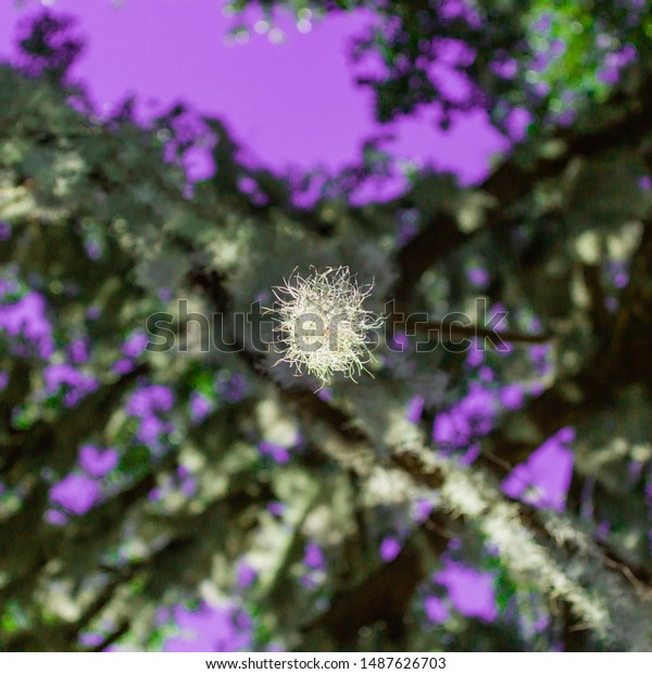 Looking upward at a canopy of trees with a single piece of hanging moss in the center.