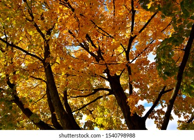 Looking upward into the colorful maple leaves turning splendid autumn colors through the large mighty tree limbs.