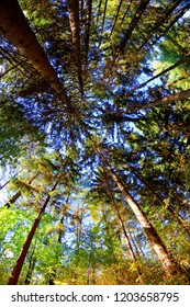 Looking upward through a fisheye lens to capture the long tall pine trees in the woods to show a unique perspective and exaggerate the height.