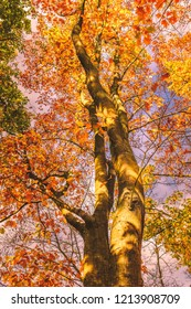 Looking upwards along the trunk of a beautiful golden sycamore tree in autumn with its fall leaves golden, red and orange. Mottled sunlight illuminates the tree.