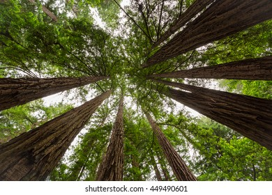 Looking upwards in giant sequoia forest in California, USA