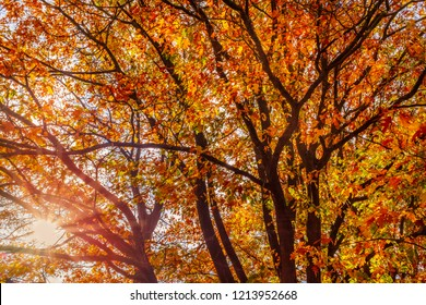 Looking upwards into a beautiful golden sycamore tree in autumn with its fall leaves golden, red and orange.  The sun and sun beams can be seen through the branches
