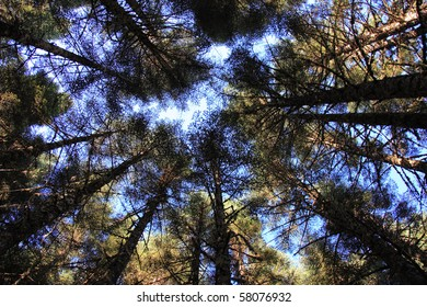 Looking upwards to the sky deep in an evergreen forest in the Pacific Northwest