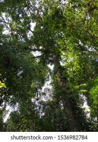 Looking upwards towards the canopy of tall tropical trees, with lush green leaves and vines growing.