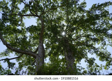 Looking up view of two big kapok tree tops full of foliage (ceiba pentandra)  with beautiful blue sky on the background on a sunny day. It produces cotton for making vintage mattress and pillow
