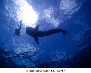 Looking up at a whale shark and diver both in silhouette against the sea surface and sun