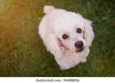 Looking up white poodle sitting on green grass. Close-up of white poodle head