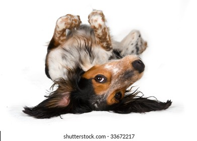 Looking at the world from a different perspective - Cute dog laying upside down isolated on white
