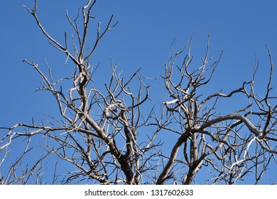 Looking-up at Tree Branches and Twigs against a Blue Sky