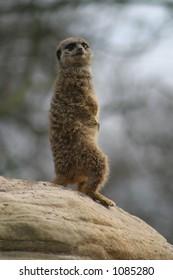 Lookout Meerkat