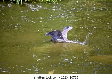 Looks like this Blue Heron is . under water for something very important