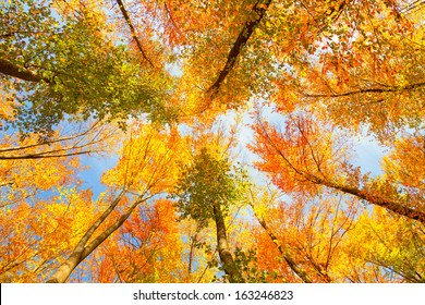 Look-up to the crown of sunny autumn trees.