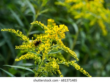 looming goldenrod. Solidago, or goldenrods, is a genus of flowering plants in the aster family, Asteraceae