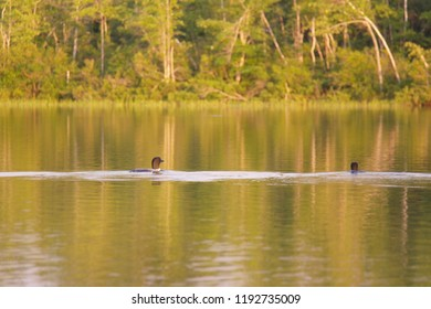 Loon birds paddling through the lake with a forest in the background, tranquillity and peace